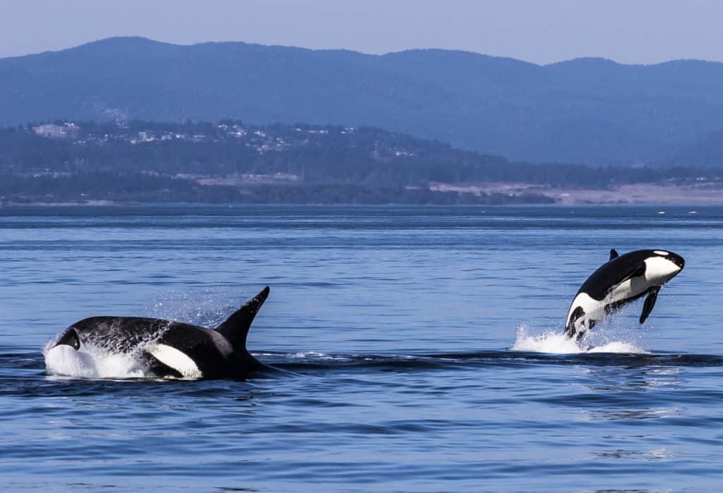 Ein Super-Spot für Orcas: Victoria, British Columbia