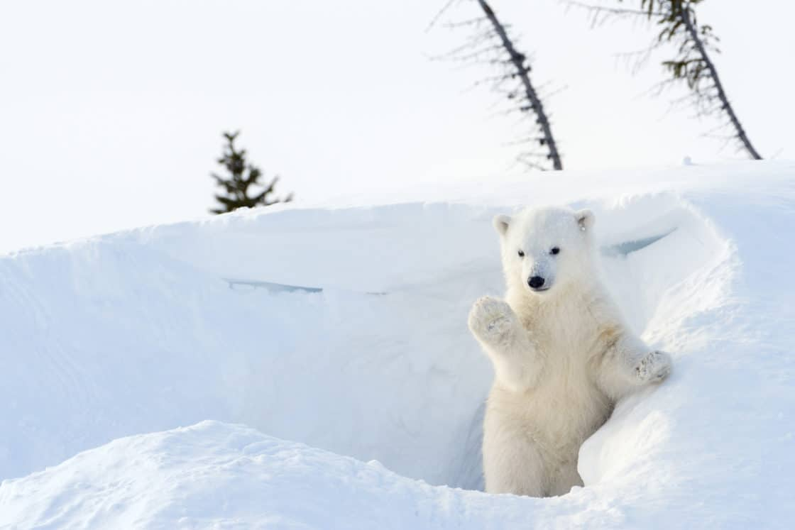 Ein kleiner Polarbär im Wapusk Nationalpark, Kanada