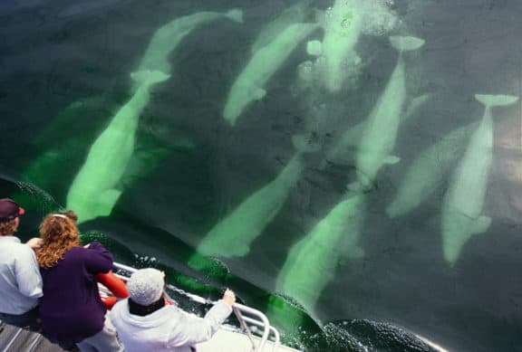 Belugas im Churchill River