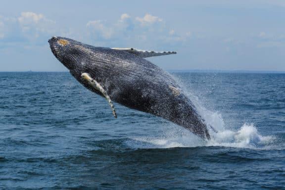 Buckelwal springt aus dem Meer