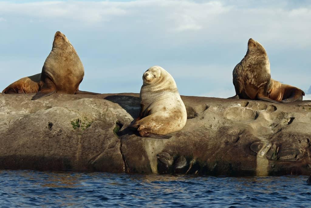 Seelöwen auf einem Inselchen in British Columbia, Kanada