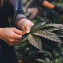 Kiffen in Kanada: <span> Marihuana </span> ist neuerdings legal