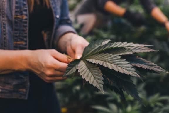 Cannabis Blatt in Hand von junger Frau