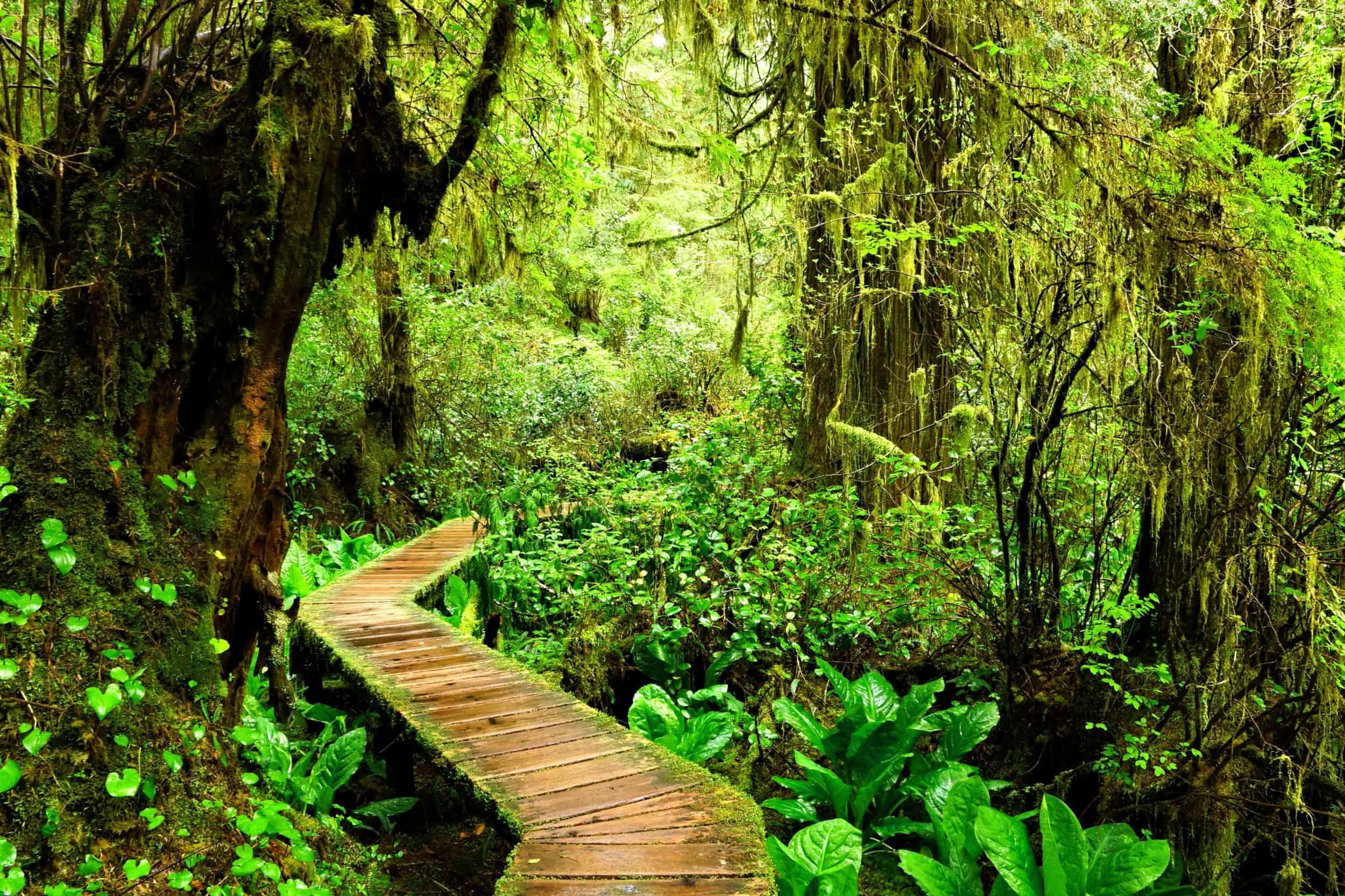 EinPfad führt durch den grünen Regenwald ds pacifim Rim Nationalparks in Kanada
