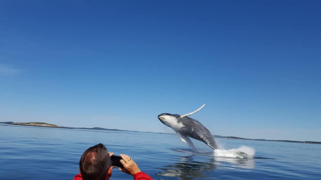 whalewatching Bay of Fundy