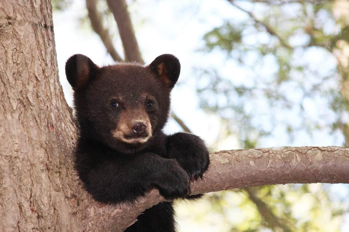 Junger Schwarzbär auf einem Baum in New Brunswick, Kanada