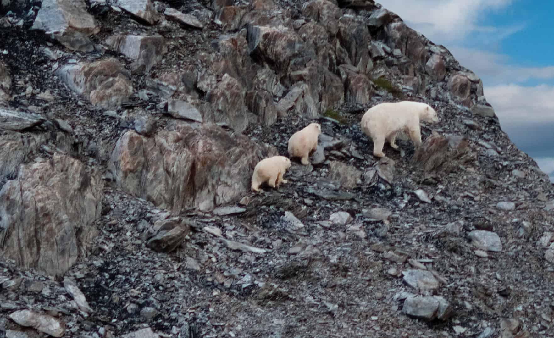 Eisbären in den Torngats