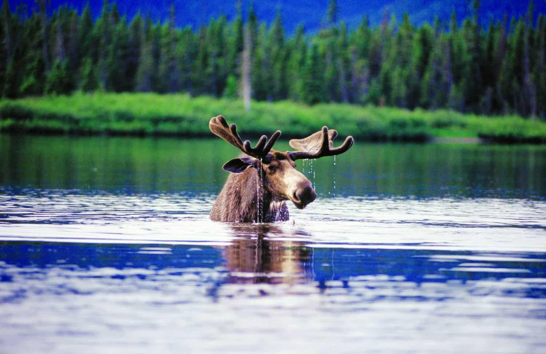 Elch im Wasser