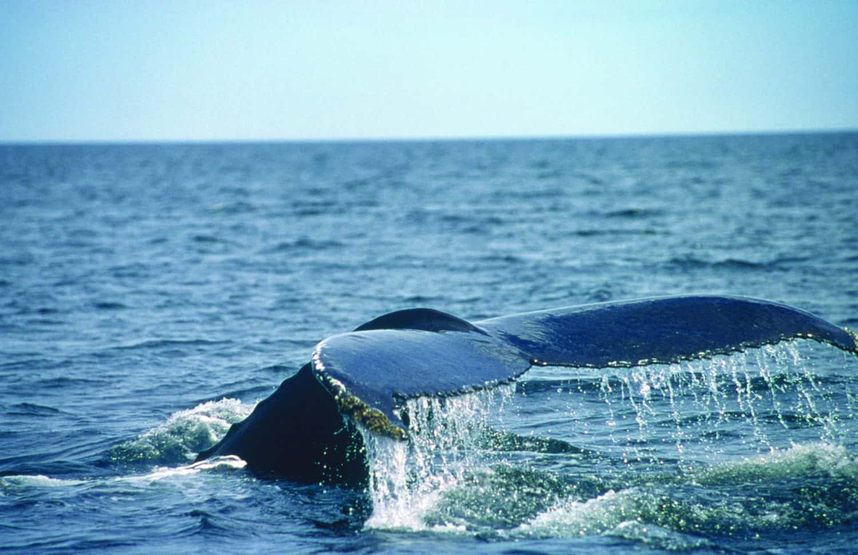 Walflosse