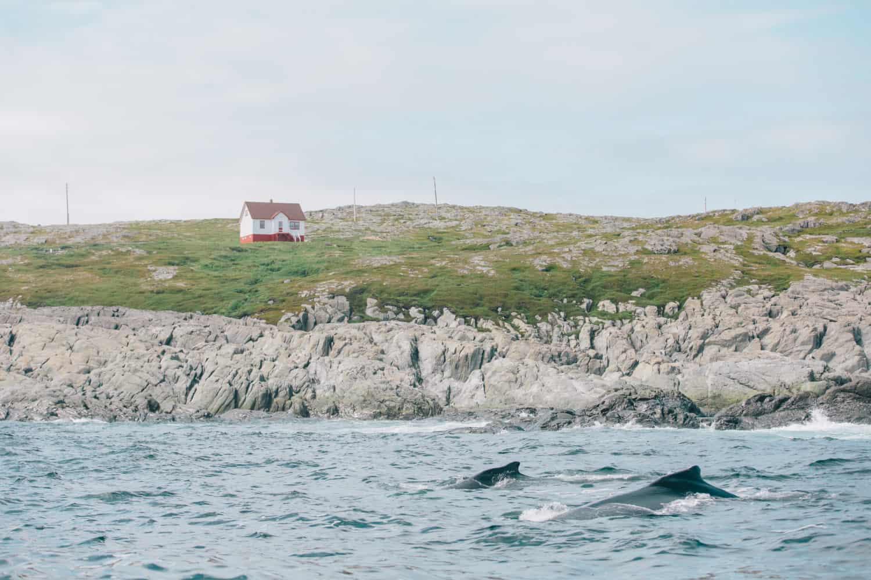 Quirpon Island mit Walen