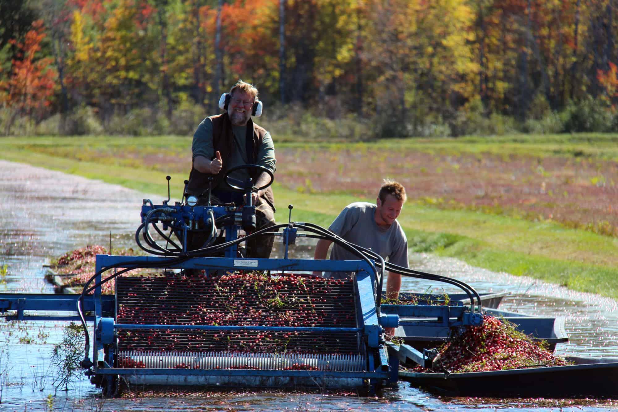Cranberry-Ernte mit einer Maschine