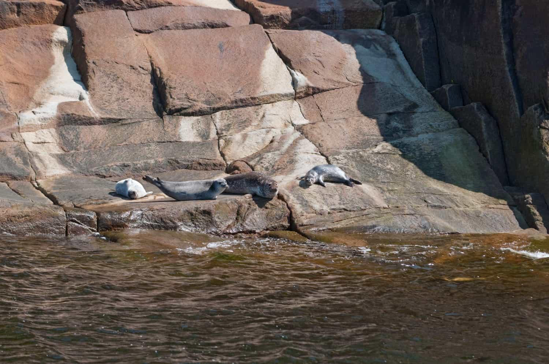 Eine Gruppe Robben starrt von Granit Felsen aus in die Kamera