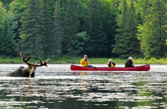 Kanu Fahrer, Elch im Wasser