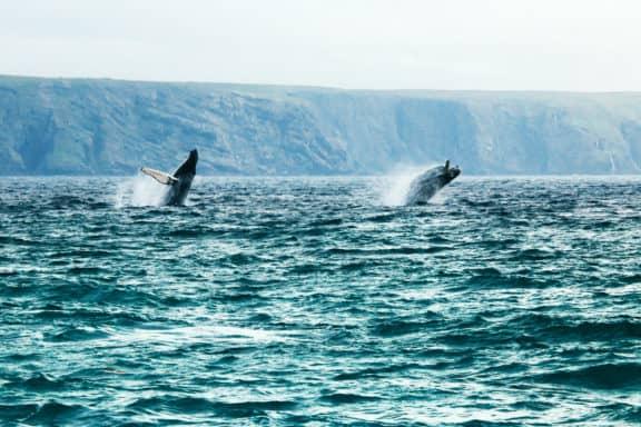 Wale vor Neufundland
