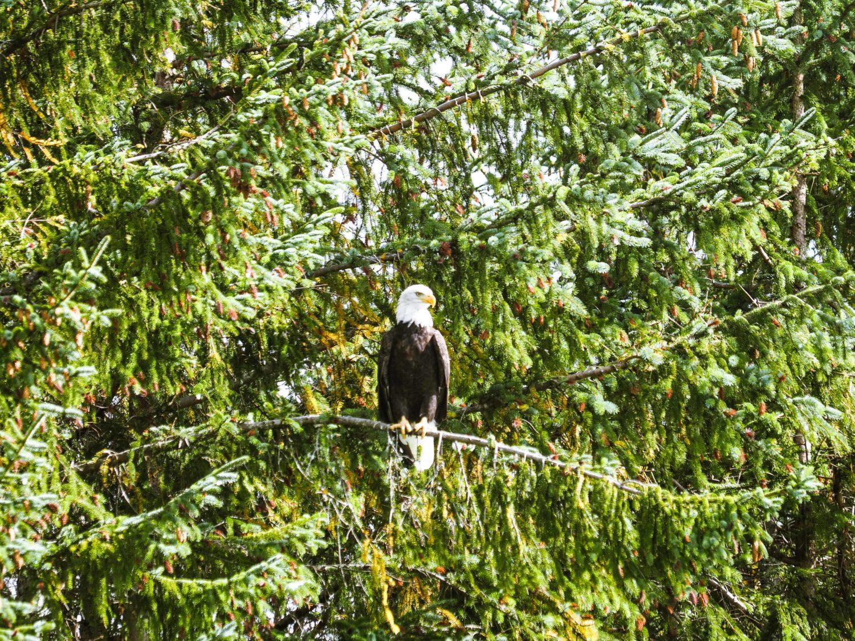 Adler auf Ast im Wald