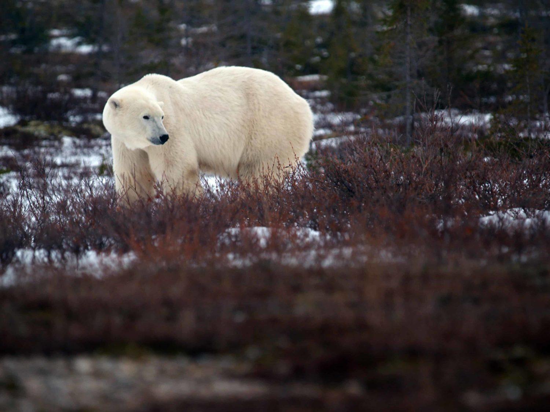 Eisbär seitlicher Blick