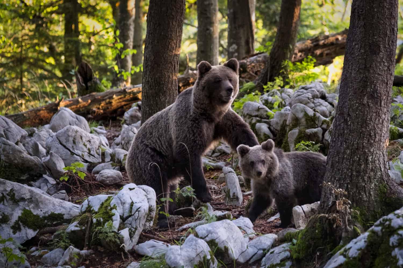 Grizzlyfamilie in Kanada