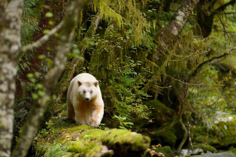 GeisterBär im Wald