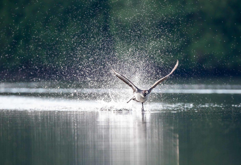 Seetaucher im Anflug, Kanada Wildnis