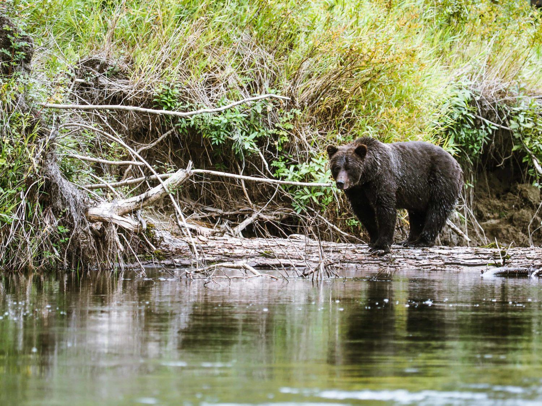 Grizzley Bär an Fluss Ufer