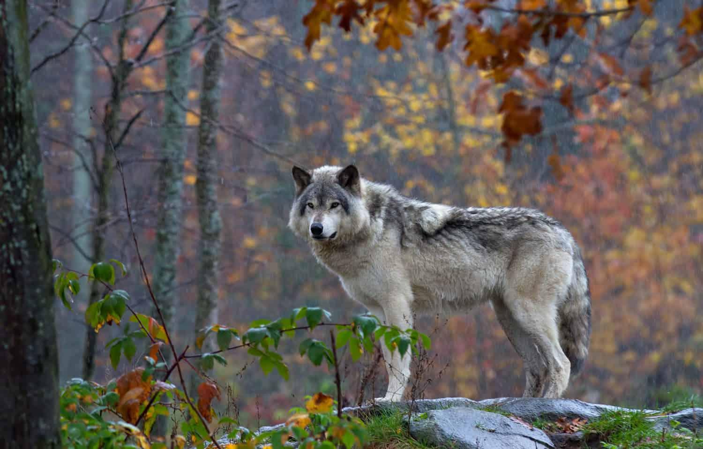 Wolf auf einem Fels im Wald blickt in die Kamera