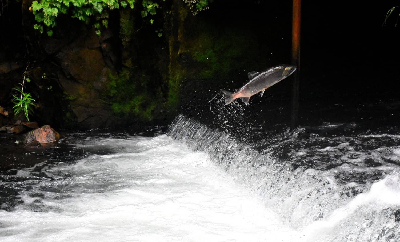 Lachs springt auf dem Wasser in Kanada