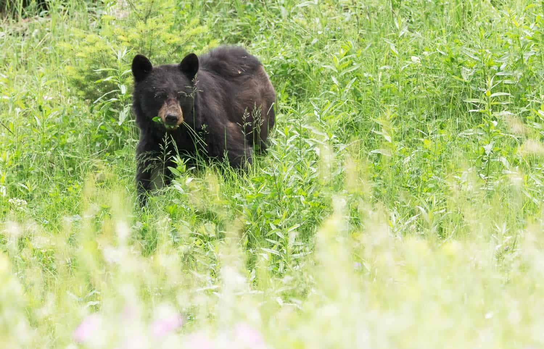 Schwarzbär im Gras