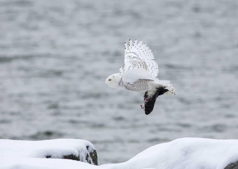 Schneeeule im Anflug