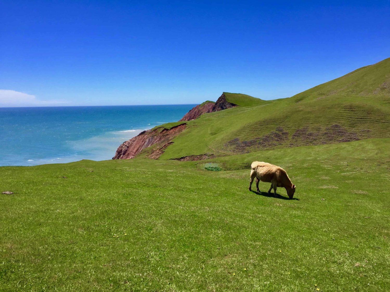 Kuh auf Entry Island, Quebec