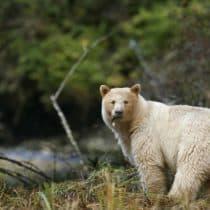 <span>Great Bear Rainforest:</span> Dort, wo der Geisterbär wohnt