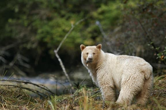 Spirit Bear, Geisterbär, Kermodebär im Wlad in British Columbia,Kanada
