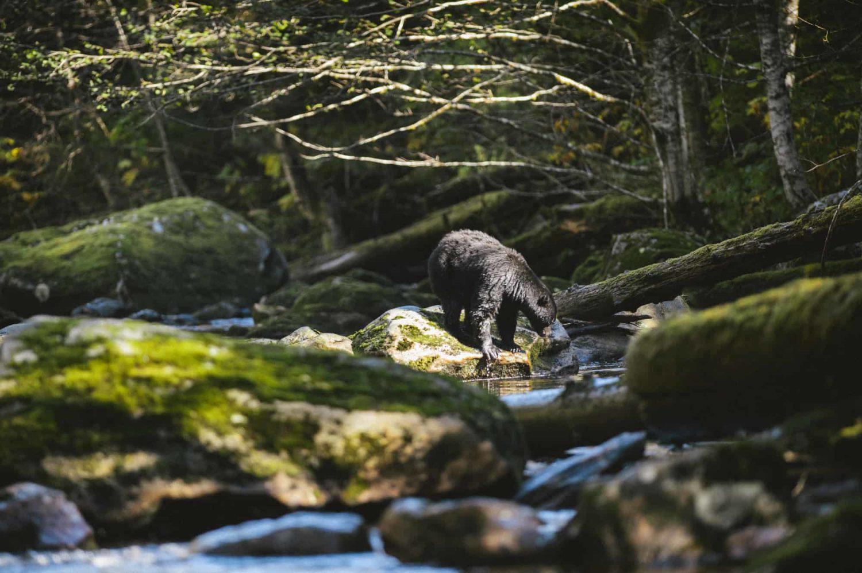 Bär an einem Fluss im Wald, British Columbia, Kanada
