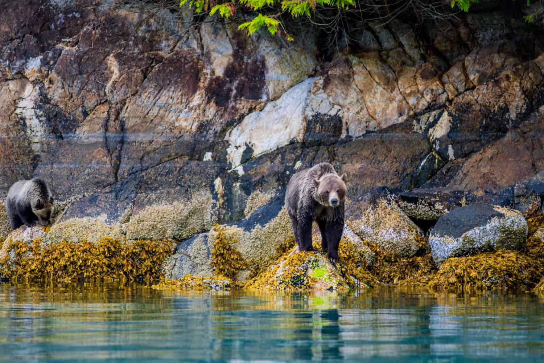 Grizzlybär im Great Bear Rainforest, British Columbia, Kanada