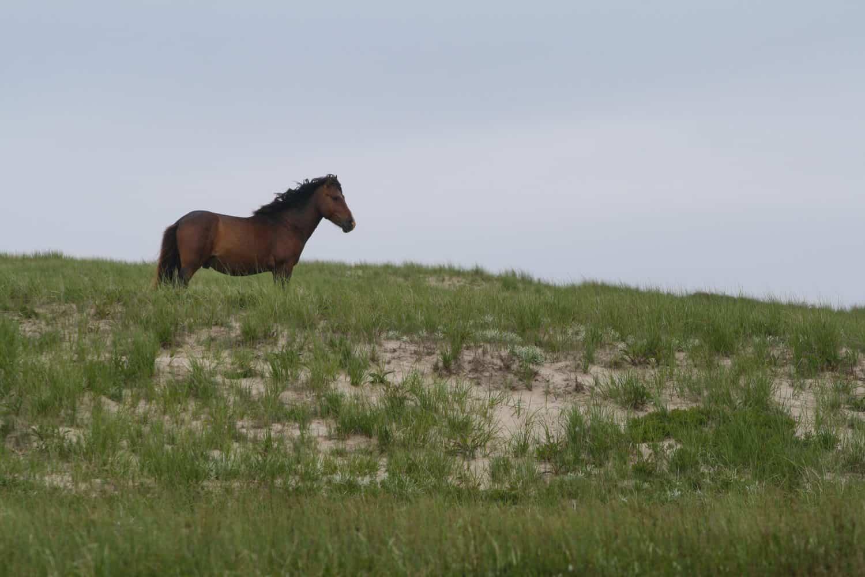 Sabel Island Pferd