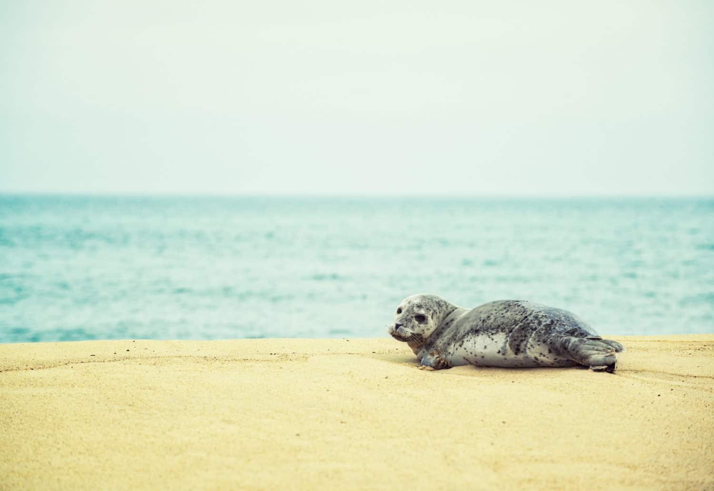 kleine Kegelseerobe auf Sable Island