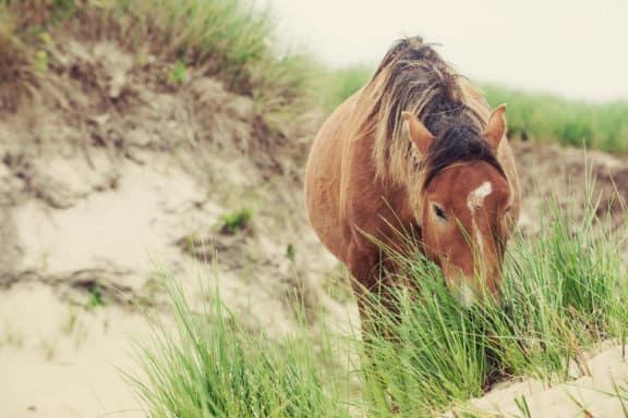 Wildpferd von Sable Island