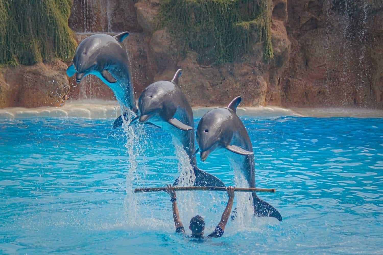 Drei Delfine springen über einen Menschen und führen ihre Kunststücke vor.