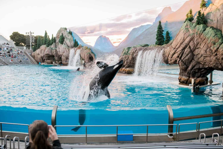 Wal im Sea World Drive in San Diego ist in seinem Becken und wird als Unterhaltung benutzt. Perso macht Video/Foto von dem Wal.