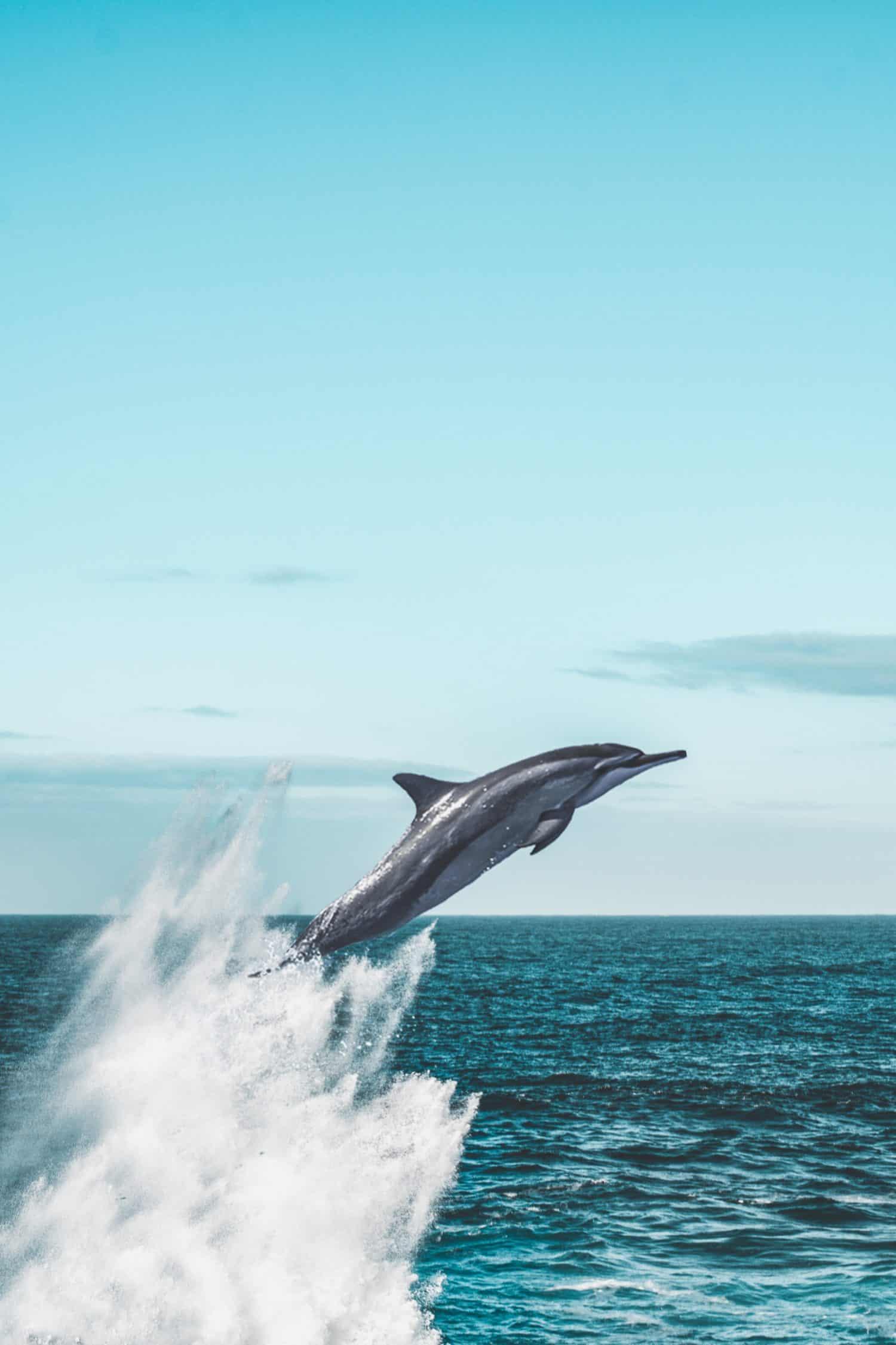 Delfin springt beeindruckend aus dem Meer