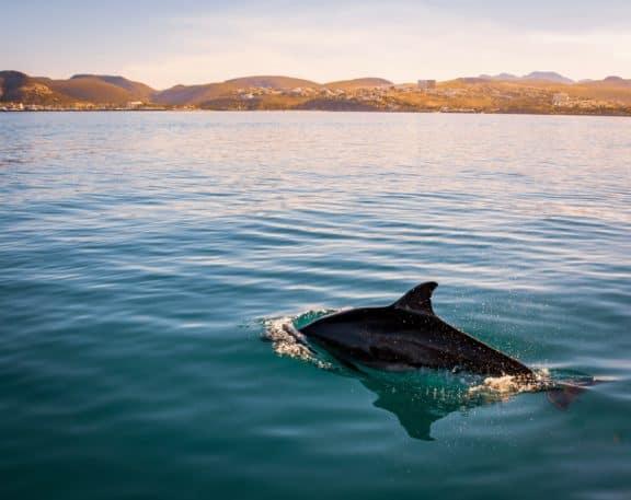Delfin im Meer mit der Küste im Hintergrund.
