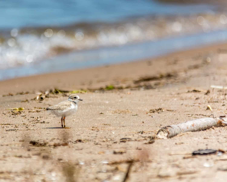 Der Vogel Piping Plover am Strand in Kanada.