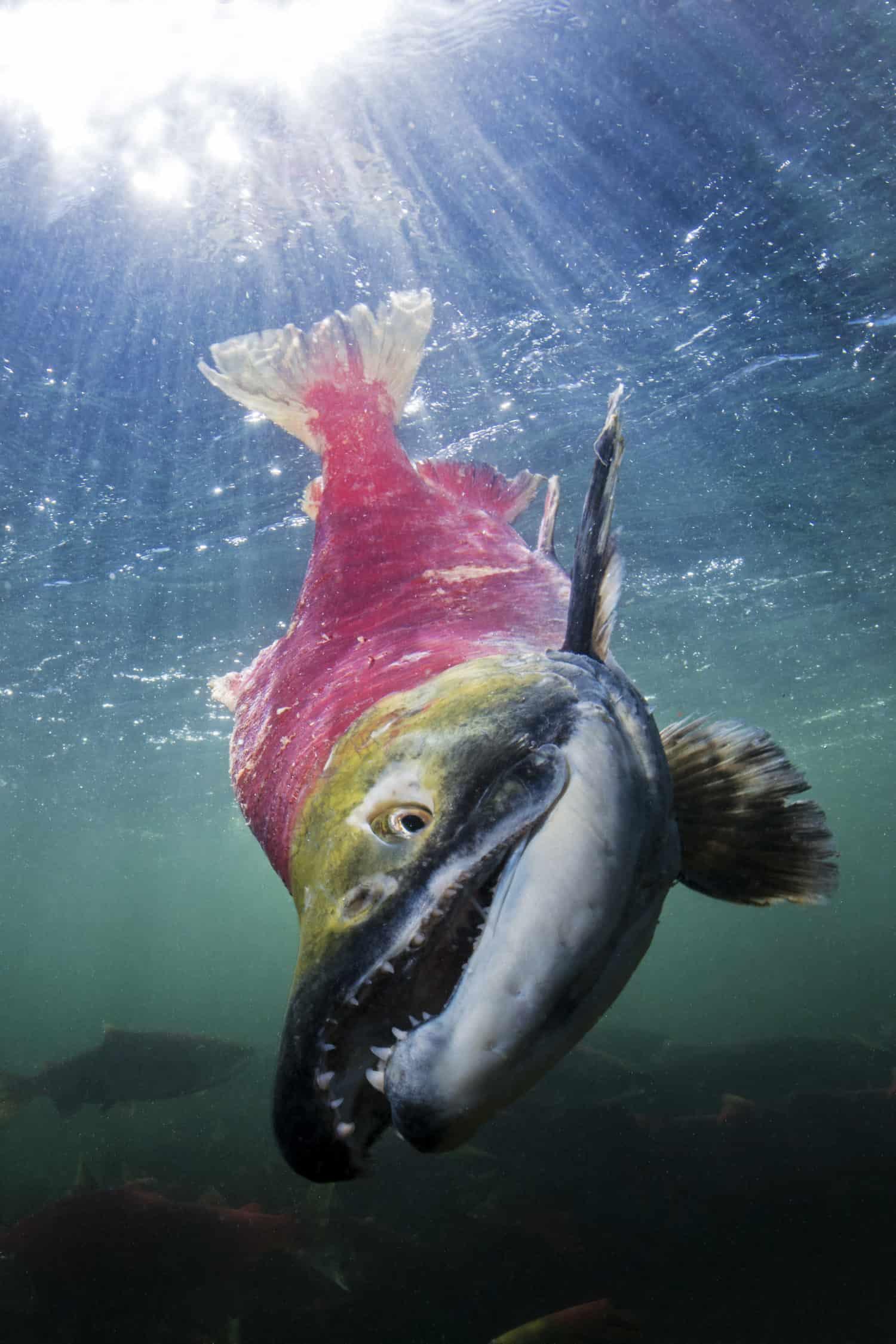 Rotlachs Männchen kurz vor dem Tod im Adams River, BC, kanada.