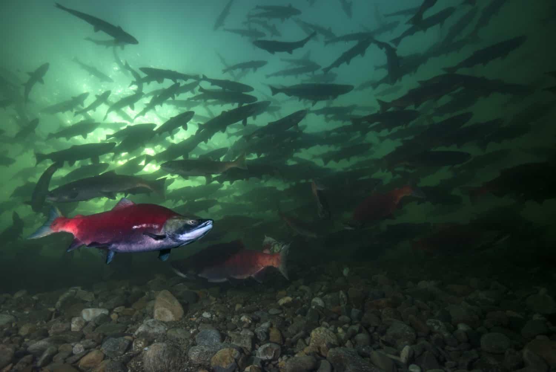 Rotlachse (Oncorhynchus nerka) oder Blaurückenlachse (englisch Sockeye; russisch Nerka) i Schwarm schwimmen in British Columbia, Kanada.