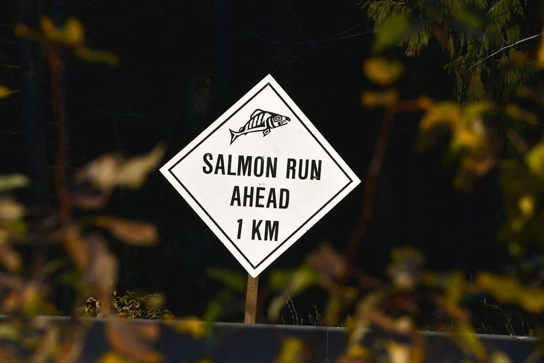 Lachse in British Columbia, Kanada am Adams River beim Salmon Run.